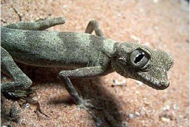 Agamura Persica