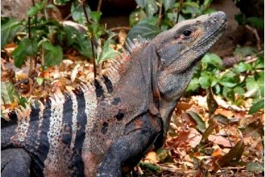 Ctenosaura Similis