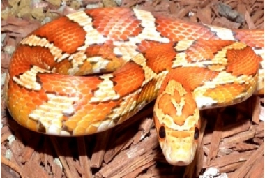 Pantherophis Guttatus (Elaphe Guttata)