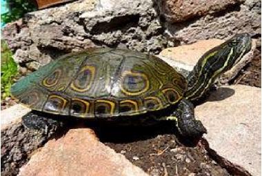 Vodní želvy-Trachemys Sp.