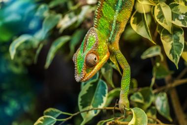 Chameleóni