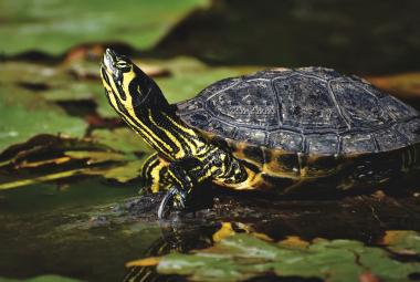 Vodné korytnačky